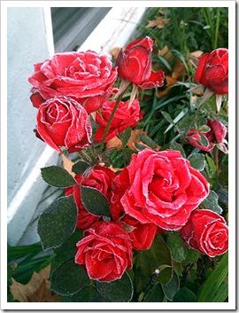 frostrose